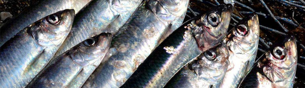 fiskekalender hvide sande