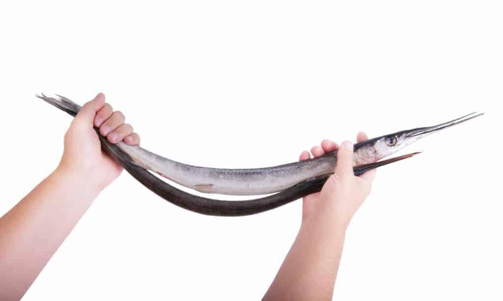 frisk fanget hornfisk