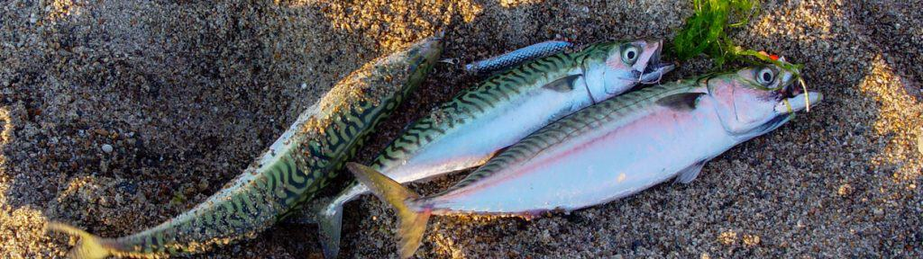 makrel fiskeri