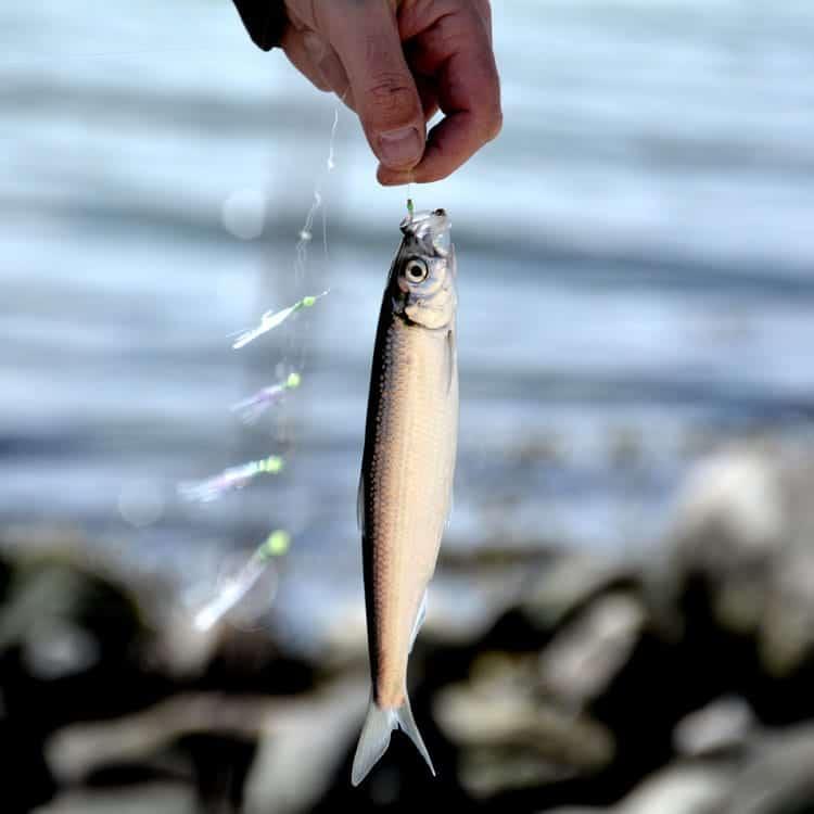 Sildefiskeri i hvide Sande