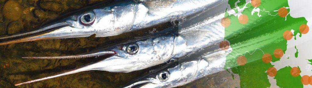 Hornfisk fiske steder i danmark
