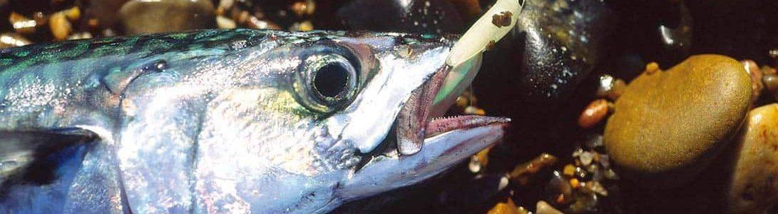 Hvornår kan man fange makreller?