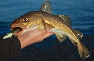 Fisketur torsk