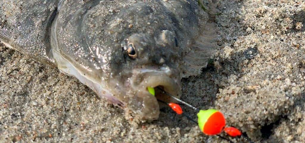fladfisk med forfang i mund