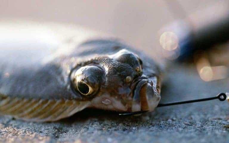 Fladfisk sæson