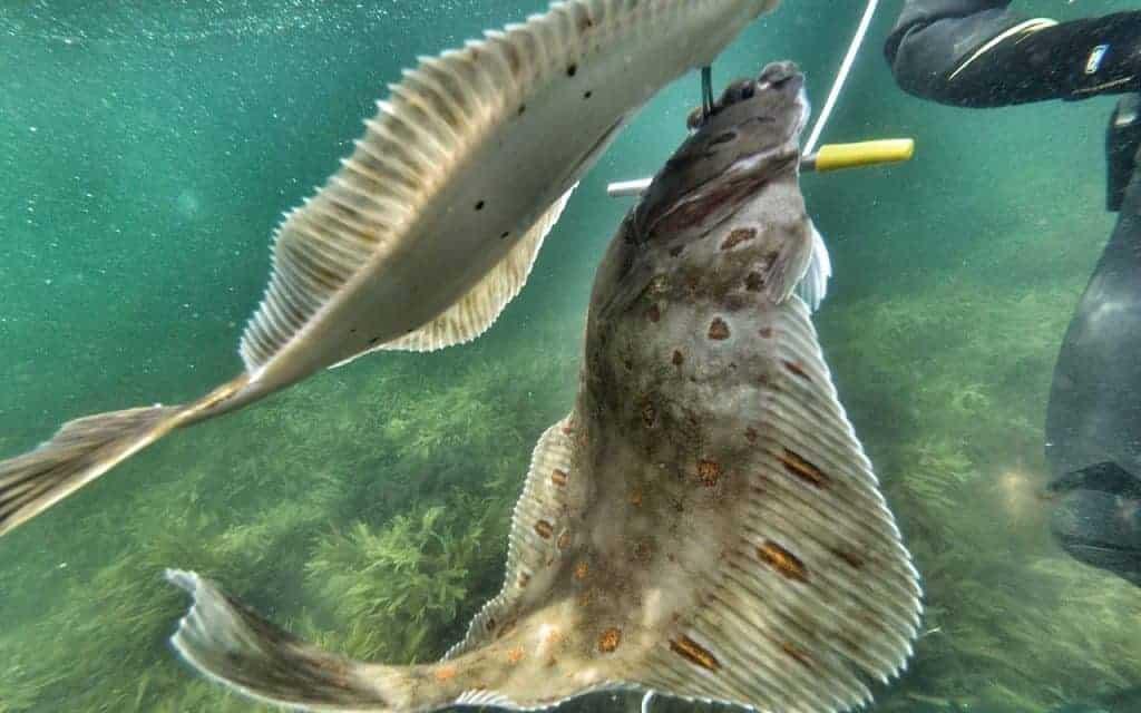 Fladfisk uv jagt