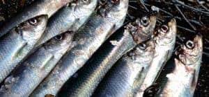 sildefiskeri