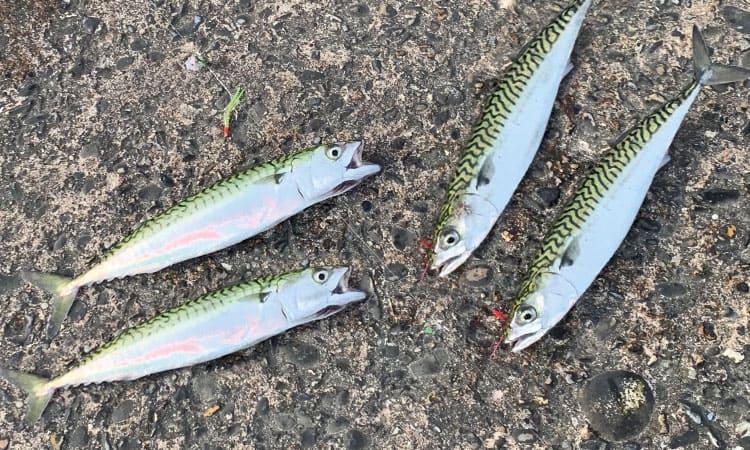 makrelfiskeri
